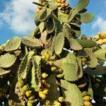 Thahandesht-Cactusvijgen